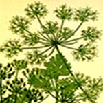 Parsley, Sage, Rosemary and Thyme: Gardening and Growing Food in 1632